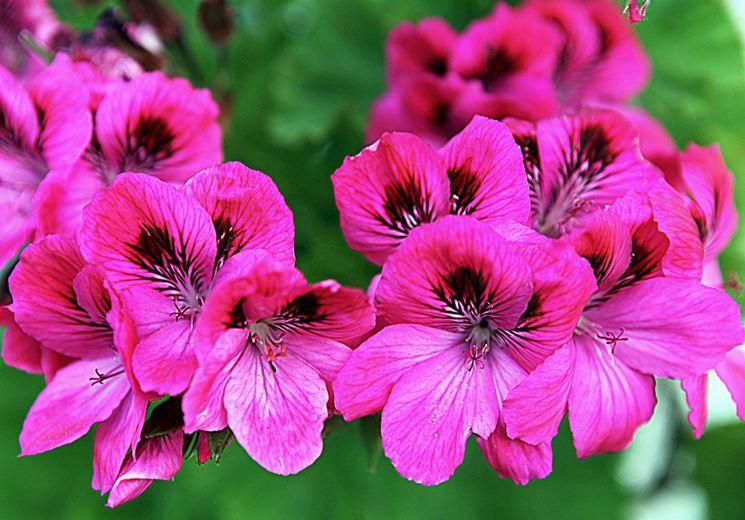 fiori <em>geranio imperiale</em>