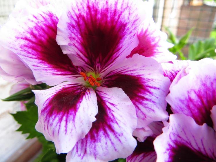 fiore del geranio imperiale