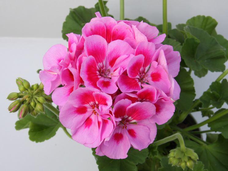 Geranio zonale rosa