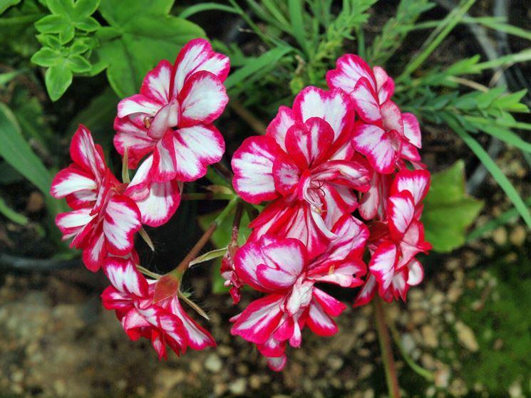 fiori di geranio