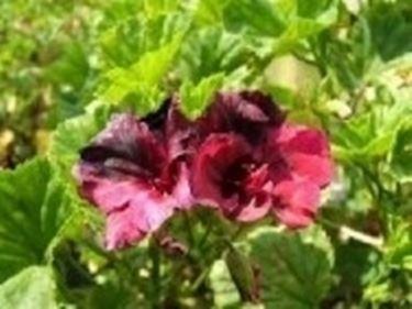 Pelargonium macranta gerani for Geranio macranta