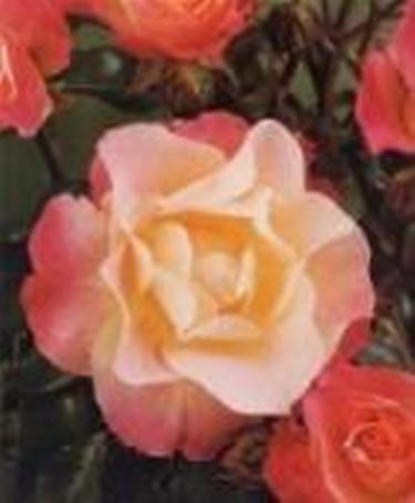 rosa poliante eclipse