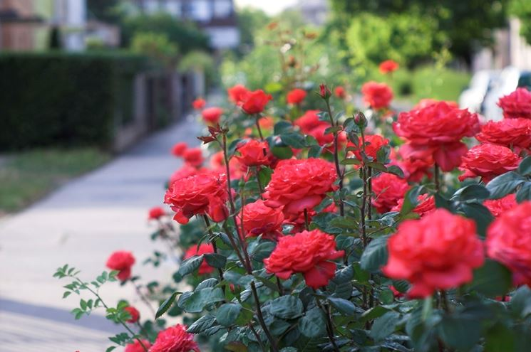 piantare rose