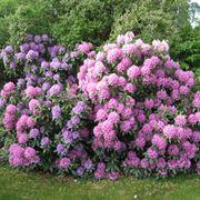 rododendri fioriti