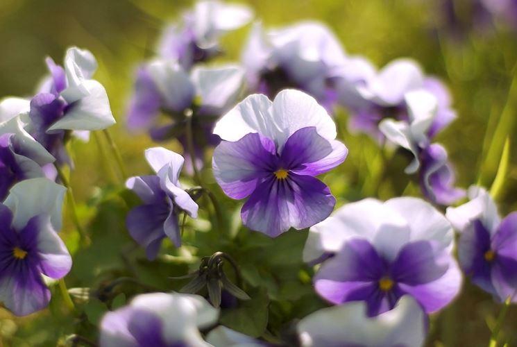 viole in giardino
