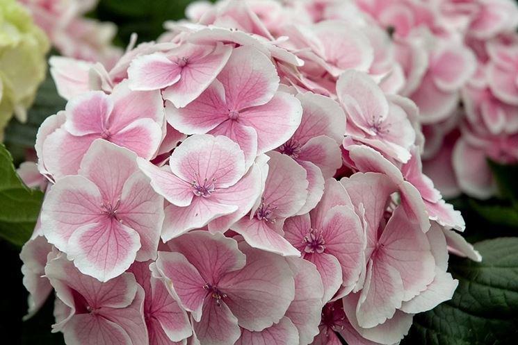 fiore ortensia