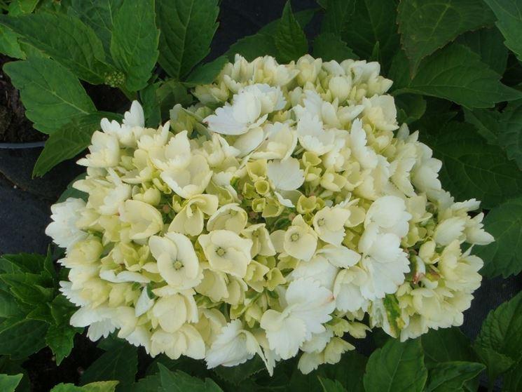 petali bianchi