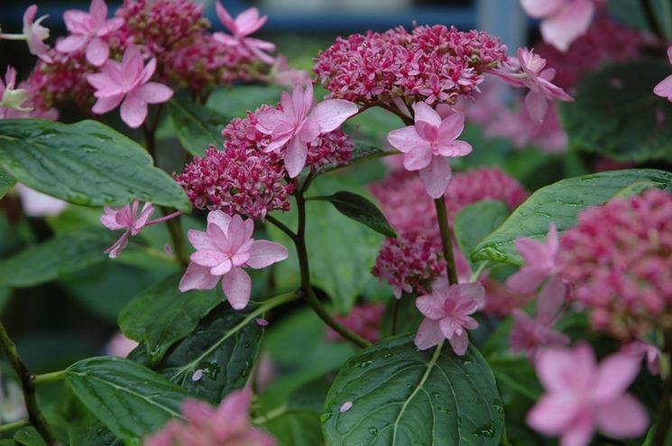 Izu-No-Hana fiore