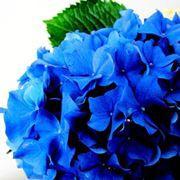 Esemplare di ortensia blu
