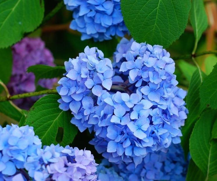 Una serie di differenti ortensie blu