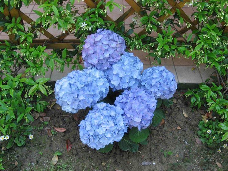 Dettaglio di un'infiorescenza di ortensia blu