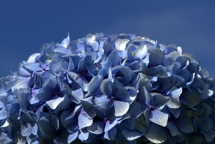 Pianta di ortensia blu