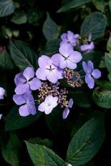 Ortensia rampicante ortensie - Ortensia rampicante petiolaris ...