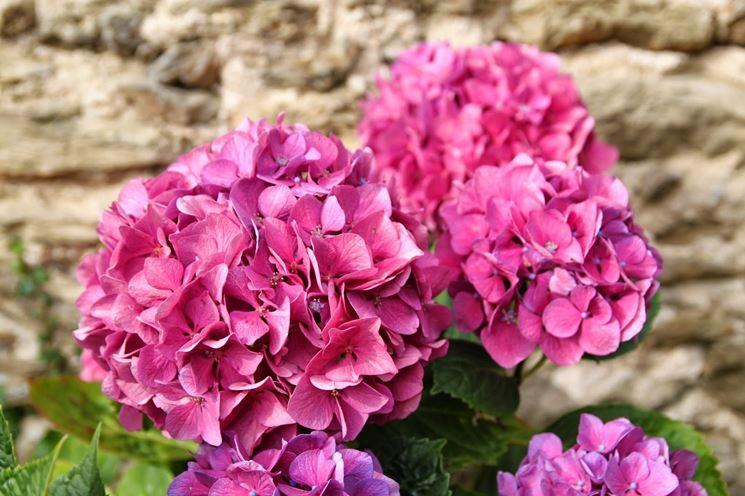 Ortensia rampicante ortensie coltivazione ortensia for Ortensie in vaso