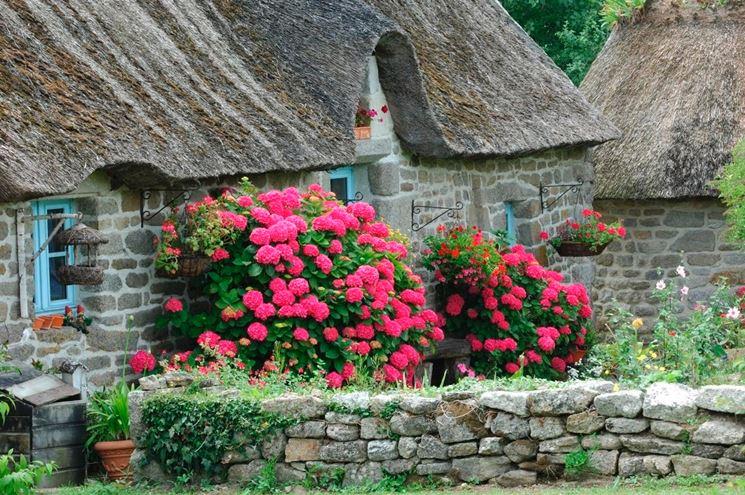 Ortensia rampicante ortensie coltivazione ortensia - Comment faire secher des hortensias ...