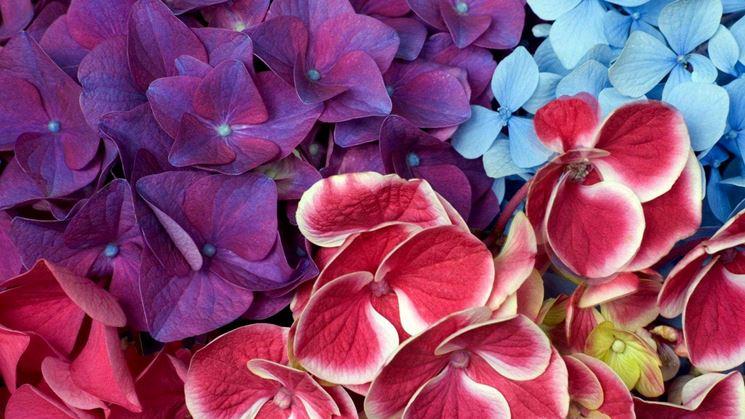 ortensia fiori bianchi
