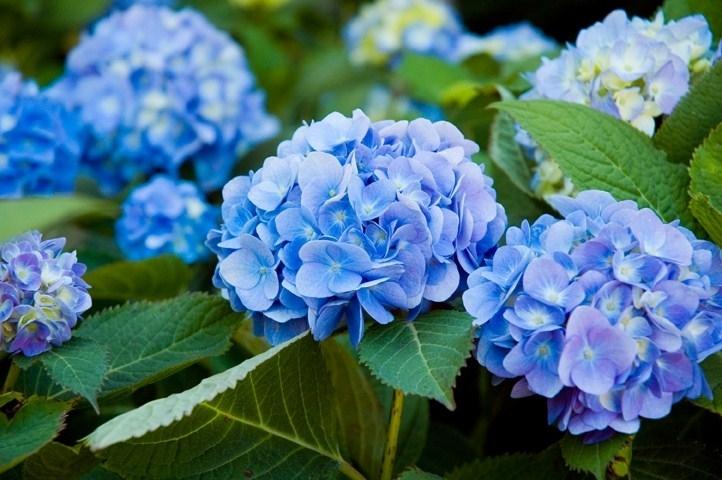 I fiori di ortensia, scopriamoli