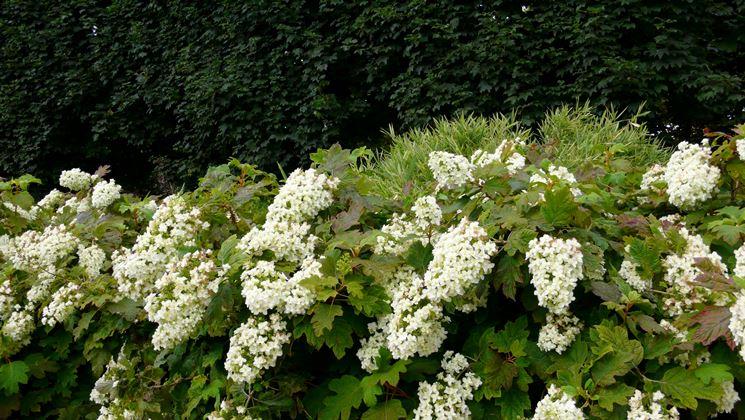 Quercifolia