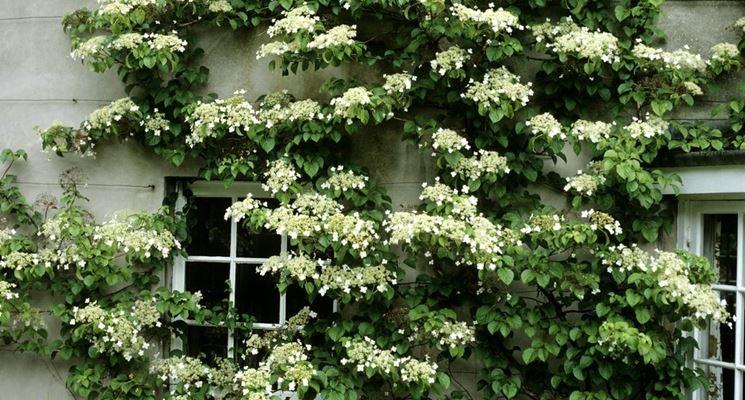 La Hydrangea rampicante Seemani è sicuramente una delle varietà più  conosciute ed apprezzate di ortensia rampicante. I fiori semplici  fioriscono fra giugno