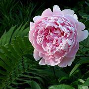 Bellissima peonia rosa