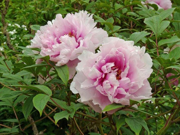 Peonia arbustiva fiore