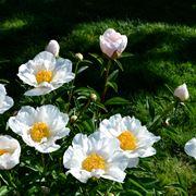 Dei fiori di peonia bianca