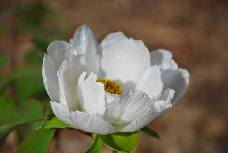 Una pianta di peonia bianca