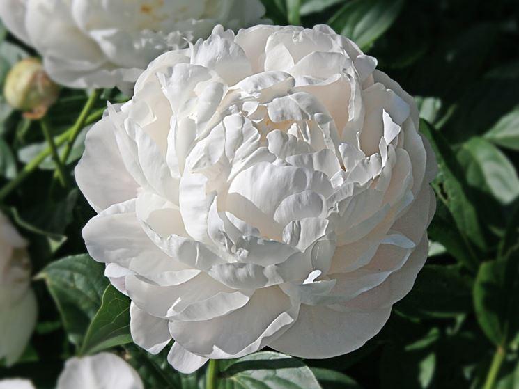 Un cespuglio di peonia bianca