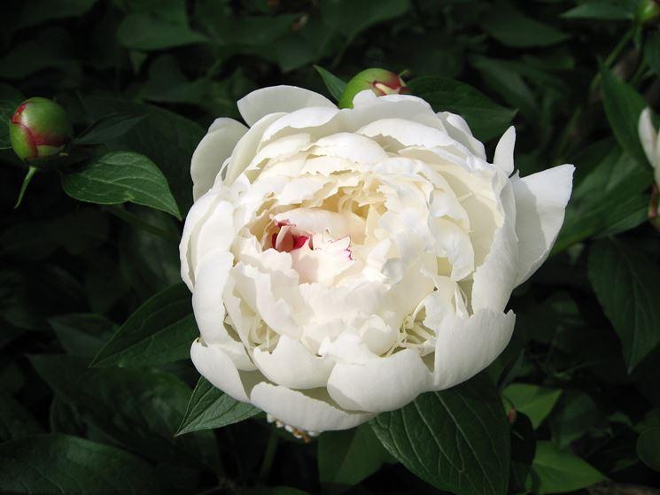 Esemplare di peonia bianca