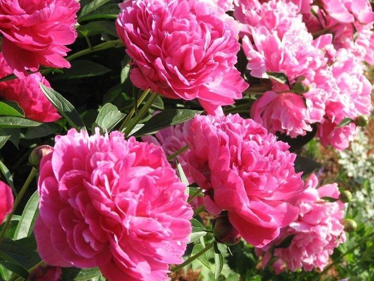 Bellissimo cespuglio di peonie rosa