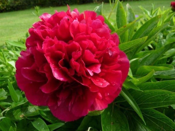 Meraviglioso fiore fucsia di una peonia erbacea
