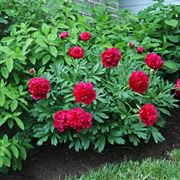 Peonie dal fiore rosso.