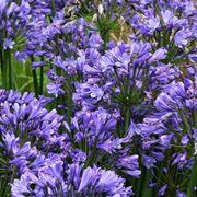 Agapanthus fiorito