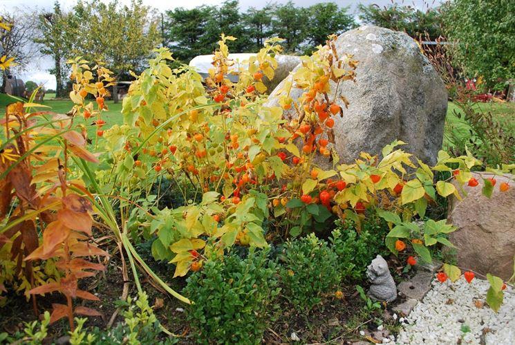 Alchechengi giardino