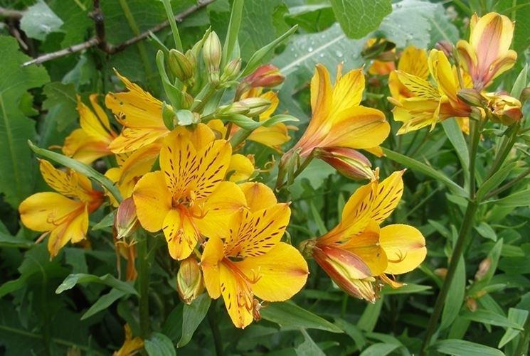 Giglio perù fiori