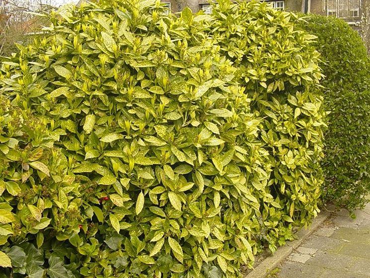 Arbusti sempreverdi perenni piante perenni for Piante verdi perenni da giardino