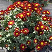 Crisantemi rossi e gialli