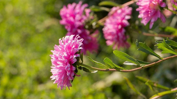 Fiore di crisantemo rosa