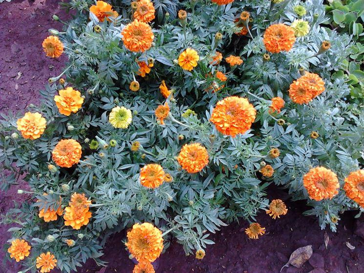 Pianta di crisantemo arancione