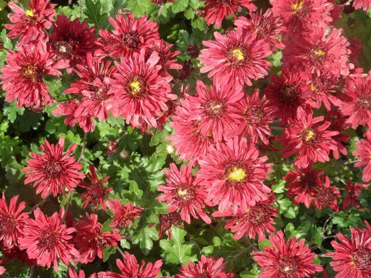 Varietà di crisantemo rosa