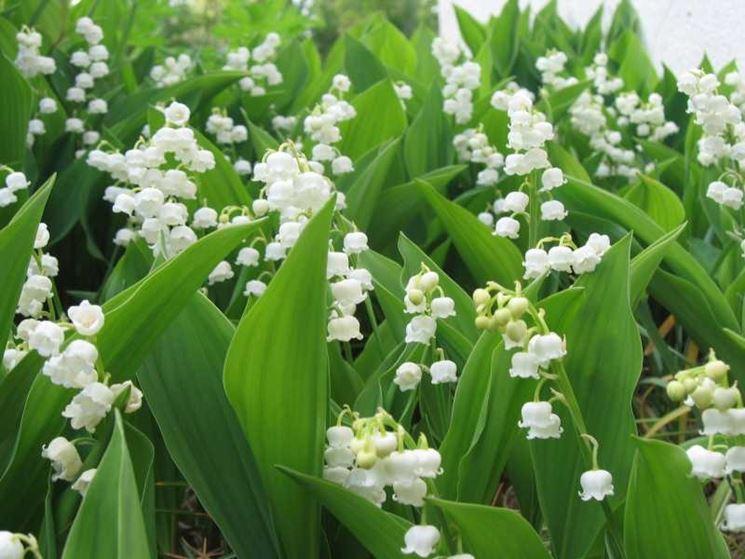 Convallaria fiore
