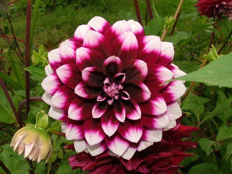 Dalia fiore perenni pianta dalia - Fiori perenni da giardino ...