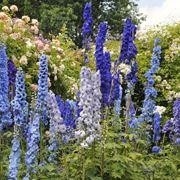 Delphinium fiori
