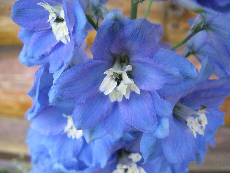 Fiore pianta Delphinium
