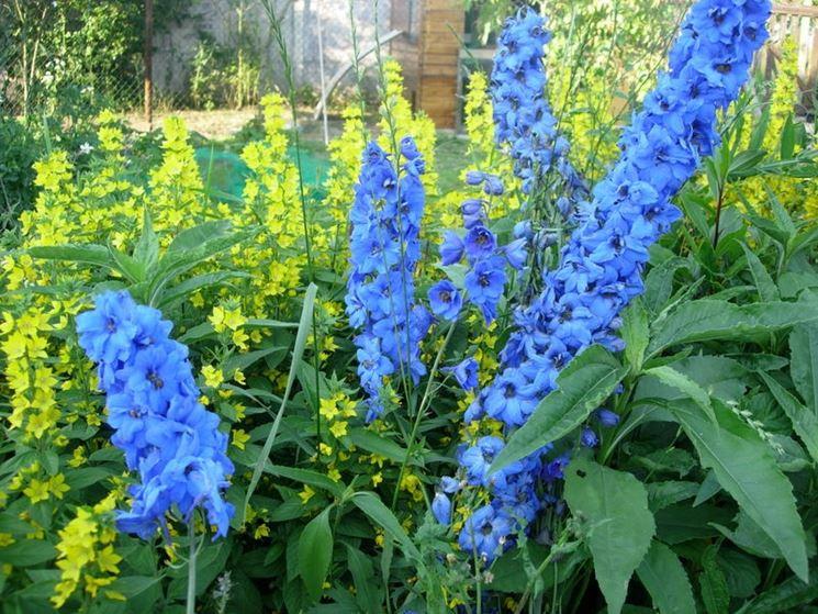 Pianta Delphinium blu