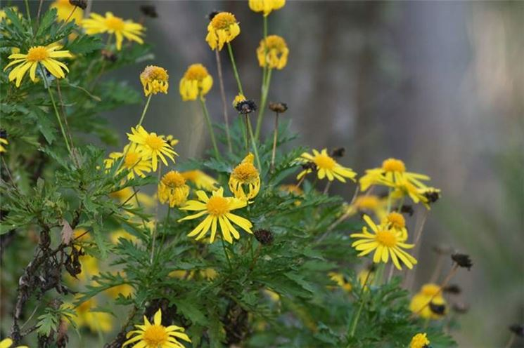 Euriops chrysanthemoides