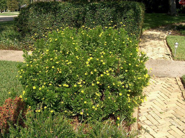 euriops fiori