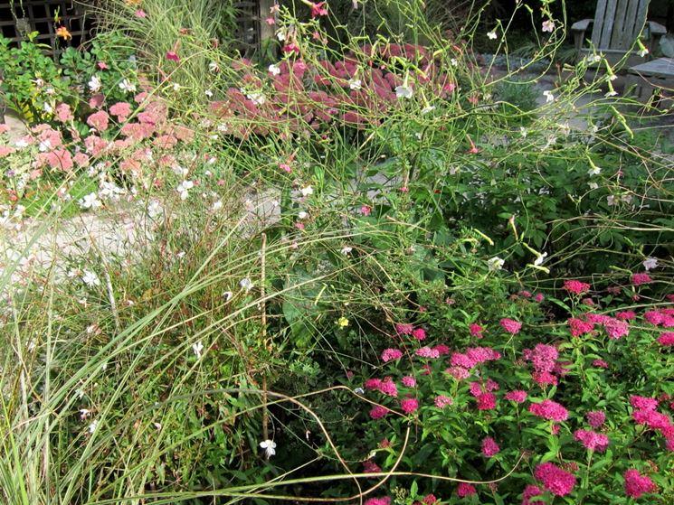 Gaura giardino