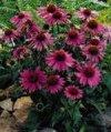 "Echinacea purpurea"""