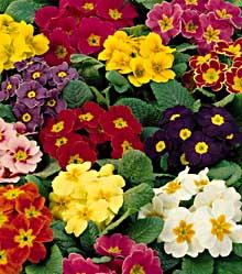 1248 primule piante ornamentali for Primule immagini